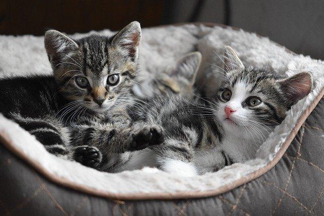 Kocięta leżą na posłaniu